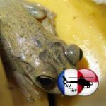 Лягушка совершила путешествие из Доминиканы в Англию в связке бананов